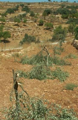 Destroyed Olive Grove