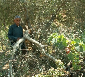 Palestinian Villager - Destroyed Grove