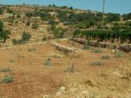 olive_trees_down187x140.jpg
